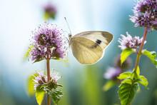 Macro Of A Cabbage White (pieris Rapae) Butterfly On A Eau-de-cologne Mint (mentha Citrata); Pesticide Free Environmental Protection Concept;