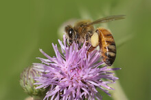 Honeybee On Prickle Covered With Pollen With Large Pollen Sacks Showing Feeding In Late Summer In Park