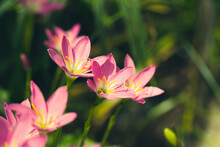 Beautiful Pink Rain Lily Flower Field Or Zephyranthes Grandiflora With Sunlight On Natural Green Leaves Plants Using As Spring Background, Selective Focus. Shallow DOF. Copy Space For Text.