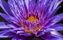 Closeup Shot Of A Beautiful Purple Water Lily