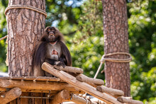 Gelada Baboon (Theropithecus Gelada) Sitting On A Platform In The Shade Of A Tree