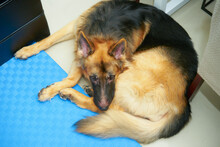 German Shepherd Dog Lying Down On Floor In Living In Donut Position Near Table And Sofa High Angle View