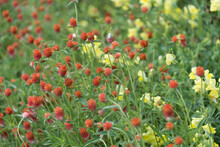 Orange Globe Amaranth And Yellow Snapdragon Flowers