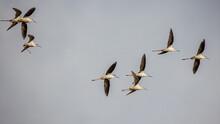 Black-winged Stilt Bird Flying In The Air