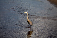 The Great Blue Heron On The Edge Of The Lake Michigan