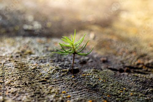 Drzewko wyrastające z pnia po ściętym drzewie