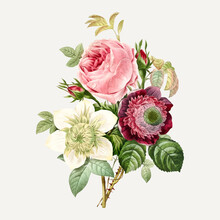 Anemone And Cabbage Rose Vector, Remixed From Artworks By Pierre-Joseph Redouté