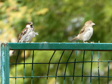 Shallow Focus Closeup Shot Of Two Sparrows Standing On A Green Iron Fence