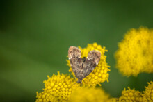Close Up Of A Small Moth On A Yellow Flower