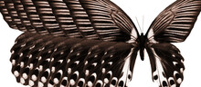 Abstract Black And White Pattern Of Butterfly Wings. Red Mormon Butterfly.