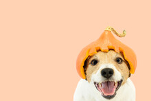 Happy Dog On Solid Color Background In Helmet Carved From Pumpkin As Humorous Halloween Costume