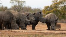 A Crash Of White Rhino In The Wild