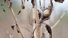 Snail On Dry Plant. Small Spiral Shell Of Snail On Dried Plant Stem. Beautiful Natural Background. Macro Shot Of Mollusc In The Wild. Copy Space. Strongly Blurred Autumn Background.