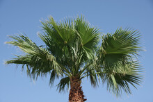 Top Of A Tall California Fan Palm Under Bright Blue Sky
