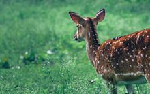 The Innocence Of A Deer