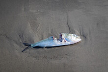 Decaying Dead Fish With A Portion Eaten Away Laying On Wet Sand On A Beach