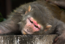Rhesus Macaques Monkey Are Familiar Brown Primates Or Apes With Red Faces And Rears Are Also Know As Macaca Or Mullata
