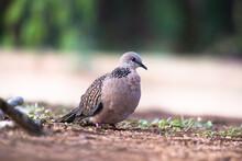 European Turtle-dove (Streptopelia Turtur Turtur) Adult Walking On Ground Looking For Food.
