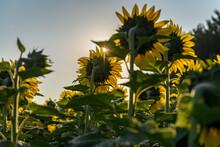 Sunflowers Face Into The Sun