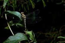 Dragonfly Resting At Night.