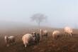 Leinwandbild Motiv Herd of sheeps in foggy autumn mountains. Carpathians, Ukraine, Europe. Landscape photography