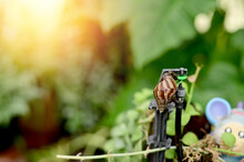 Closeup Of Snail Eating Green Leaves With Nature Background, Selective Focus Point At Thailand.