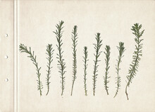 Vintage Herbarium On An Textured Brown Aged Background. Composition Of The Grass On An Old Paper. Dry Pressed Herbs. Scan Of Dried Plant.