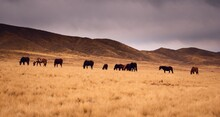 Horses Grazing In A Dry Grassland In Valle De Uco, Mendoza, Argentina, In A Dark Cloudy Day.