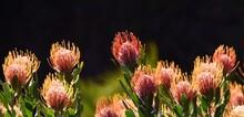 Close Up Of Common Pincushion Protea Blossoms