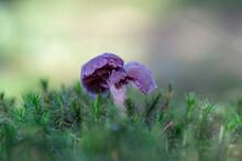 Purple Violet Mushroom Amethyst Deceiver (Laccaria Amethystina). Amethyst Deceiver (Laccaria Amethystina).