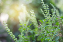Basil Leaf Close Up With Soft Light