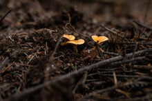 Wild Growing Poisonous Mushrooms In The Forest. Closeup.