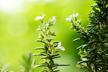 Rosemary Flowers And Green Leaves On Nature Background.