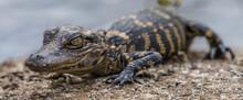 Close Up Shot Of A Small Crocodile