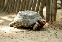 Beautiful Tortoise In Zoo Enclosure. Wild Animal