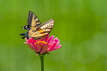 Swallowtail Butterfly Perched On Pink Zinnia Flower With Green Background