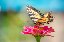 Yellow Swallowtail Butterfly Perched On Pink Zinnia Flower In Garden