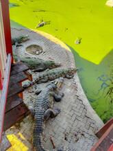 A Herd Of Crocodiles Sunbathing On Land