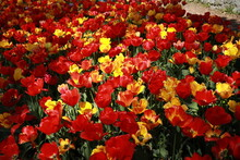 Multicolored Tulips Blooming