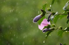 Rain And Raindrops On A Pink Flower