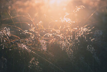 Yellow Autumn Grass With Morning Dew At Sunrise. Macro Image, Shallow Depth Of Field. Beautiful Summer Nature Background