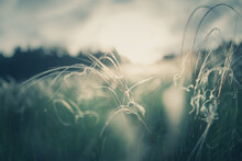 Wild Feather Grass In A Forest At Sunset. Macro Image, Shallow Depth Of Field. Abstract Summer Nature Background.