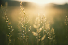 Green Grass In Summer Forest At Sunset. Macro Image, Shallow Depth Of Field. Abstract Summer Nature Background.