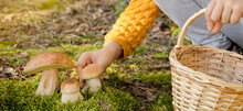 Porcini Mushrooms Grow In A Forest Clearing In The Moss . A Man With A Basket Collects Mushrooms In The Autumn Forest. Vegetarian Natural Food. Borovik Edulis