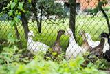 Fototapeta Zwierzęta - kaczki w zagrodzie widziane przez ogrodzenie