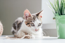 White With Gray Stripes Cat 3-4 Months Plays With Jute Rope Next To Ball And Houseplant. Playful Non-breed Kitten