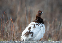 Willow Ptarmigan Fluffing Out Feathers In Denali National Park In Alaska United States