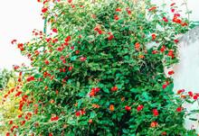 Red Lantana,shrub Verbenas Or Lantanas Flower Bush