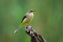 A Close Up Of A Grey Wagtail As It Is Perched On A Wooden Branch With A Natural Background