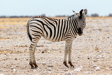 Zèbre Des Plaines ( Equus Quagga ) Ou Zèbre De Burchell, (Equus Quagga Burchellii.) Parc National D'Etosha, Namibie.